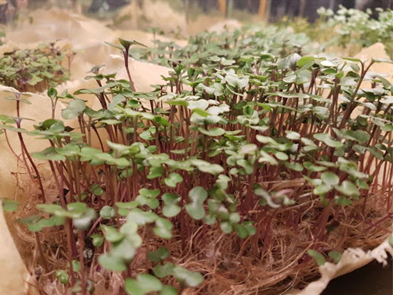 #11 Mikro Yeşillikler İle Evden Vitamin ve Mineral Üretimi
